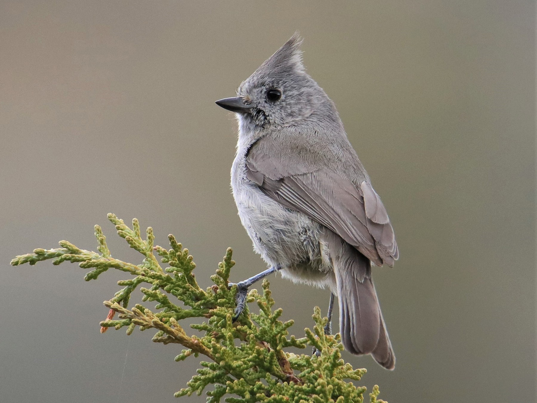 Juniper Titmouse - Albert Linkowski