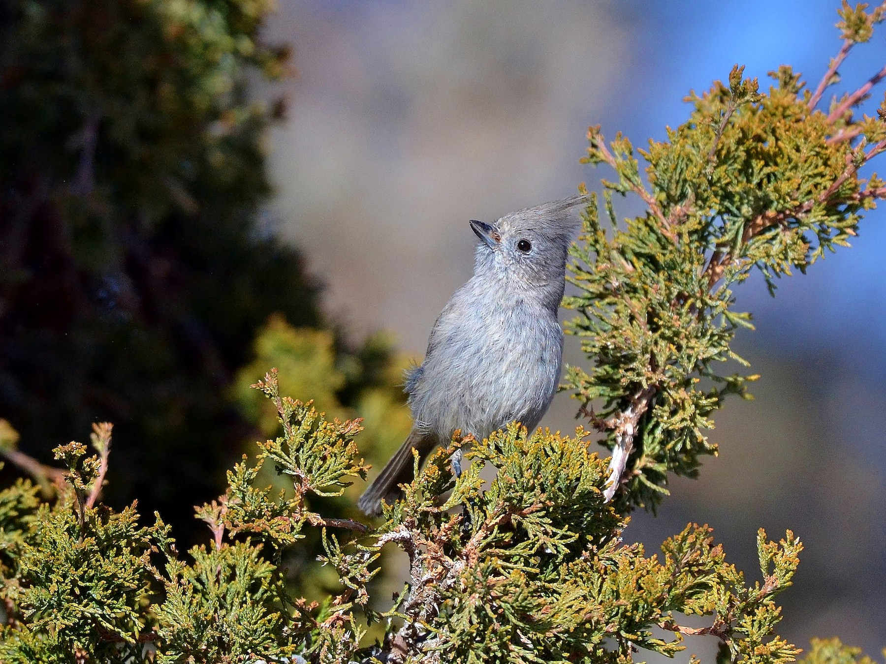 Juniper Titmouse - James Hoffman