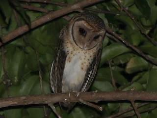 - Seram Masked-Owl