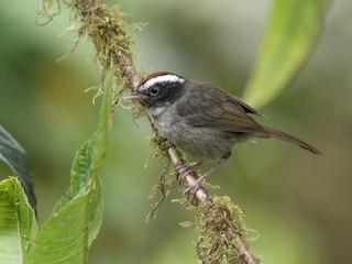 - Black-cheeked Warbler