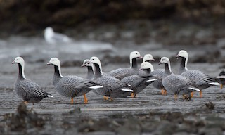 - Emperor Goose