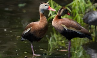 - Black-bellied Whistling-Duck