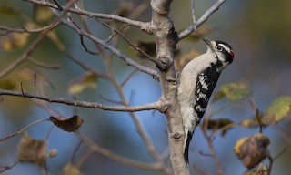 - Downy Woodpecker (Eastern)