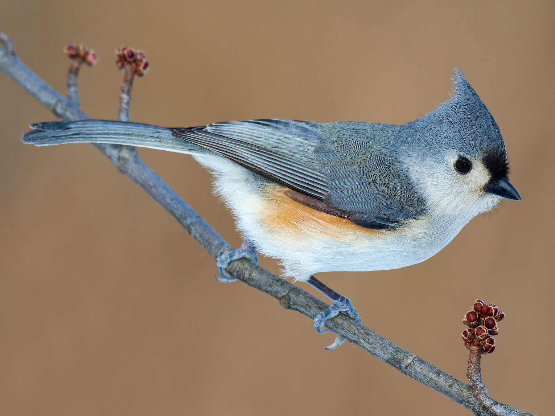 Tufted Titmouse - Darlene Friedman