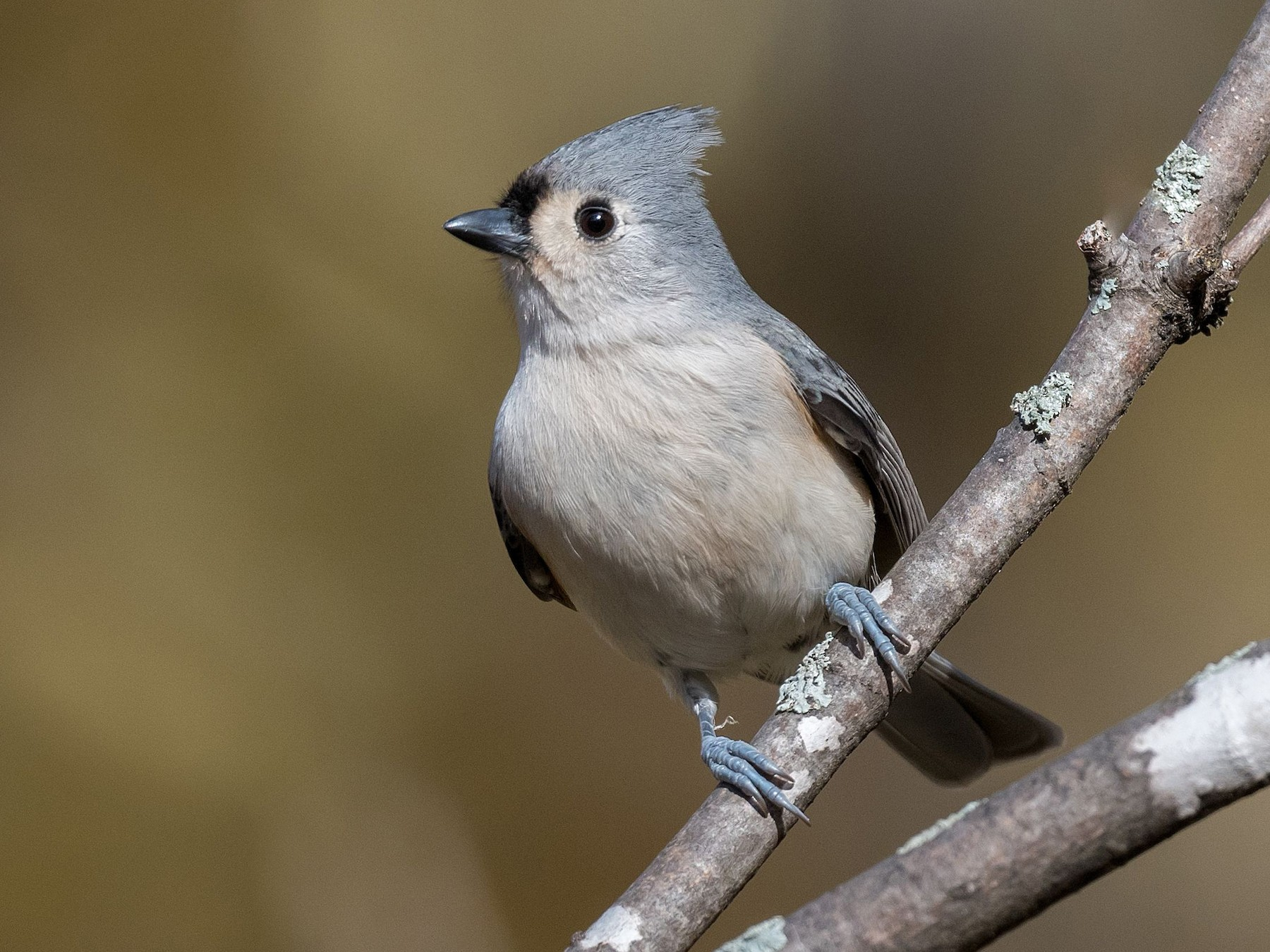Tufted Titmouse - Allan  Bigras