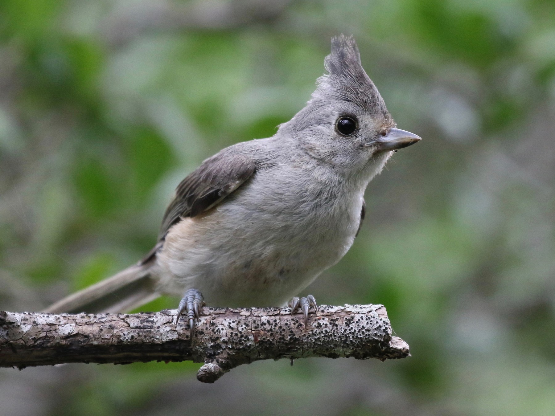 Black-crested Titmouse - Christian Fernandez