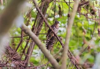 - Barred Long-tailed Cuckoo