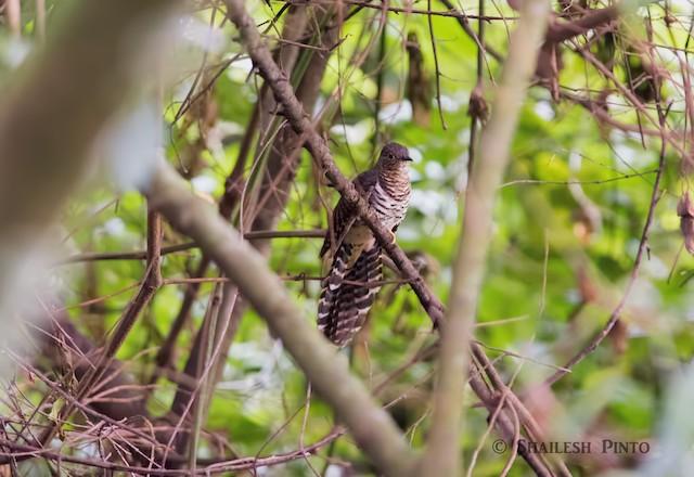 Barred Long-tailed Cuckoo