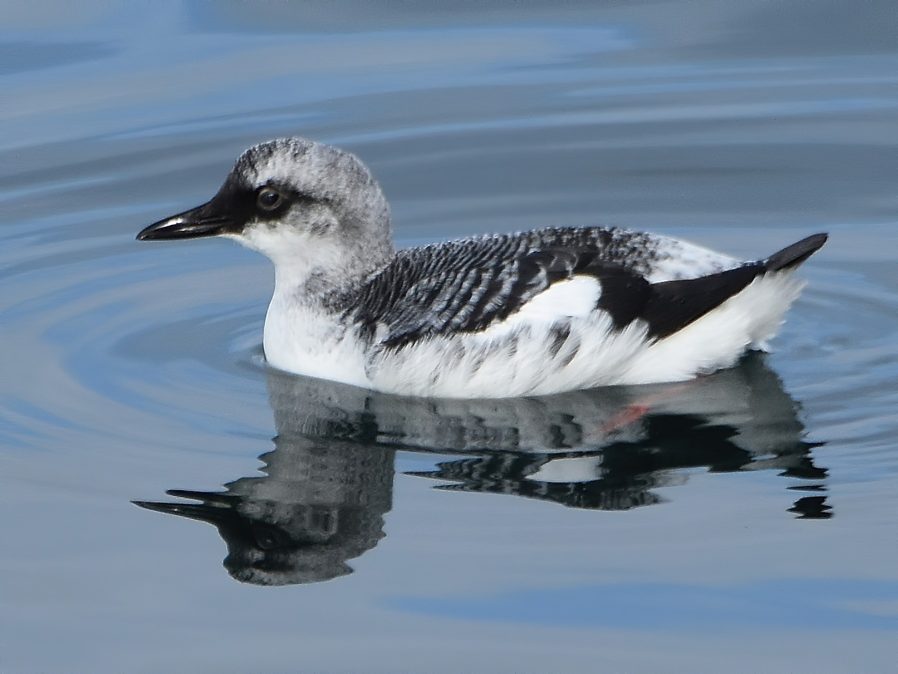 Pigeon Guillemot - Carol Riddell