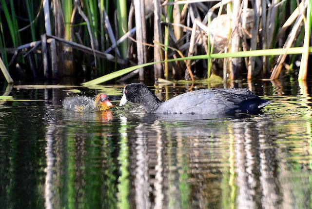 American Coot (Red-shielded)