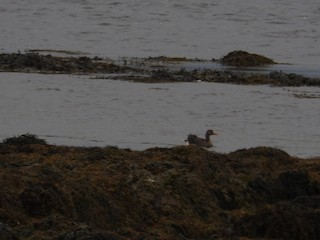 Greater White-fronted Goose, ML30289261