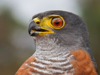 - Chestnut-flanked Sparrowhawk