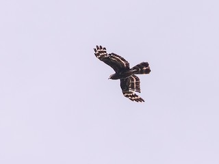 - Black Honey-buzzard