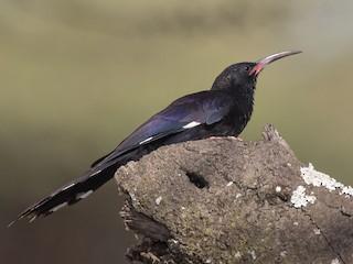 - Black-billed Woodhoopoe