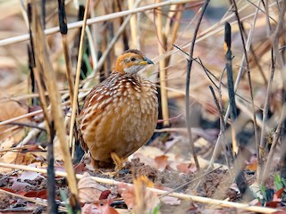 - White-throated Francolin