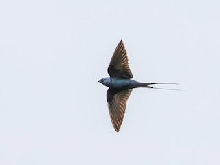 - Montane Blue Swallow