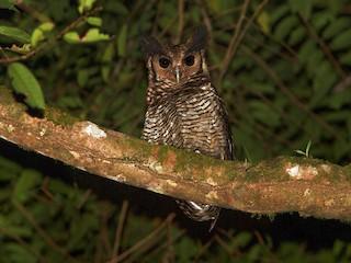 - Fraser's Eagle-Owl