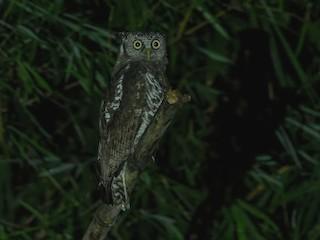 - Akun Eagle-Owl