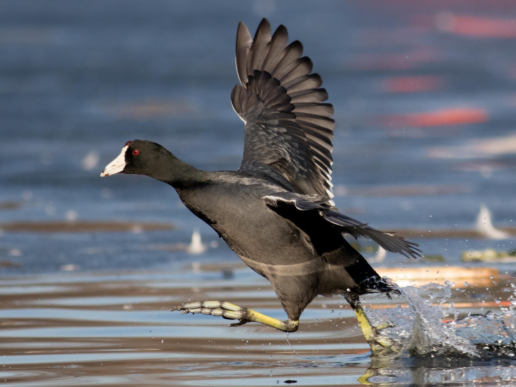American Coot - August Davidson-Onsgard
