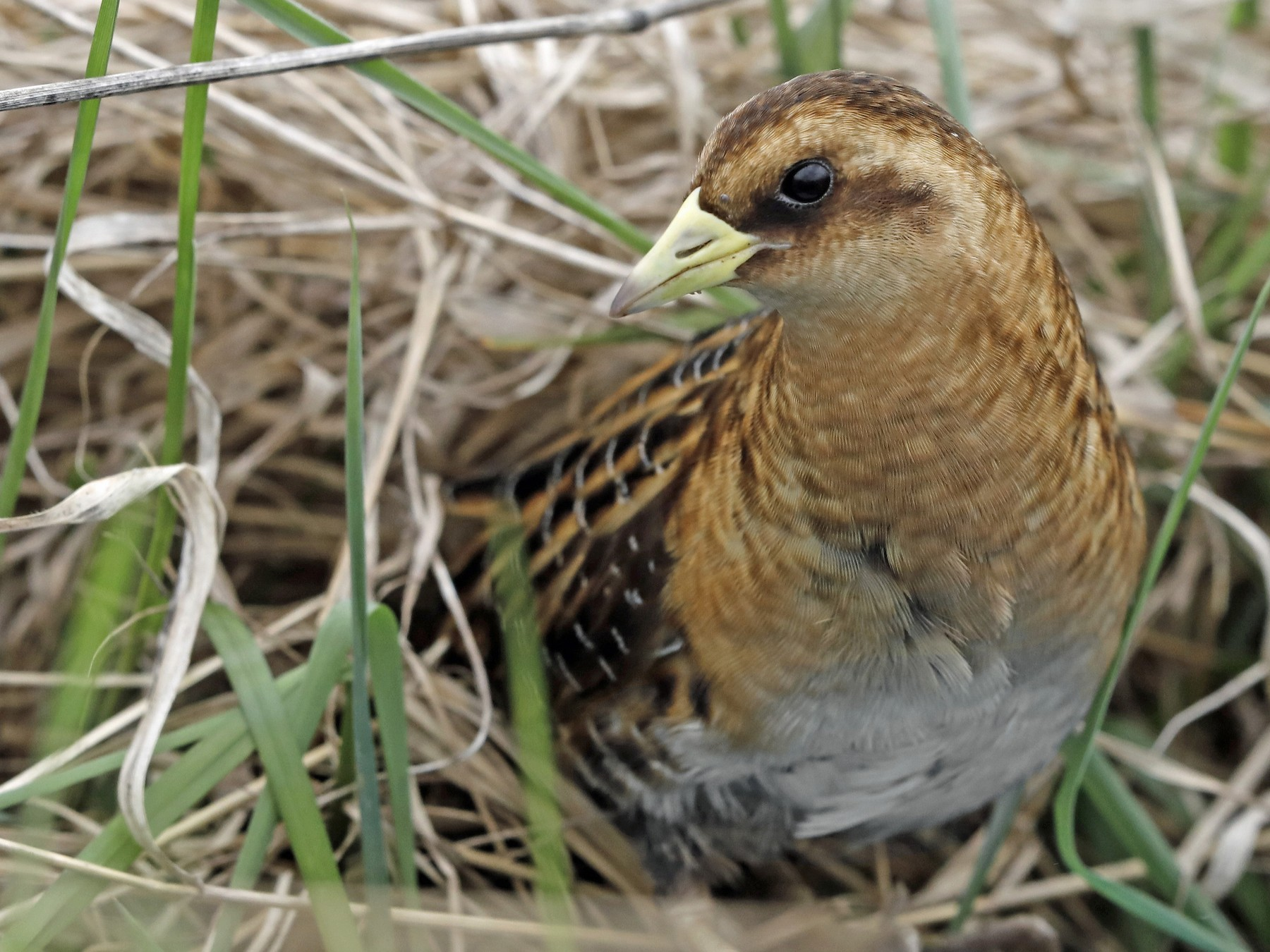 Yellow Rail - Sparrow Claw