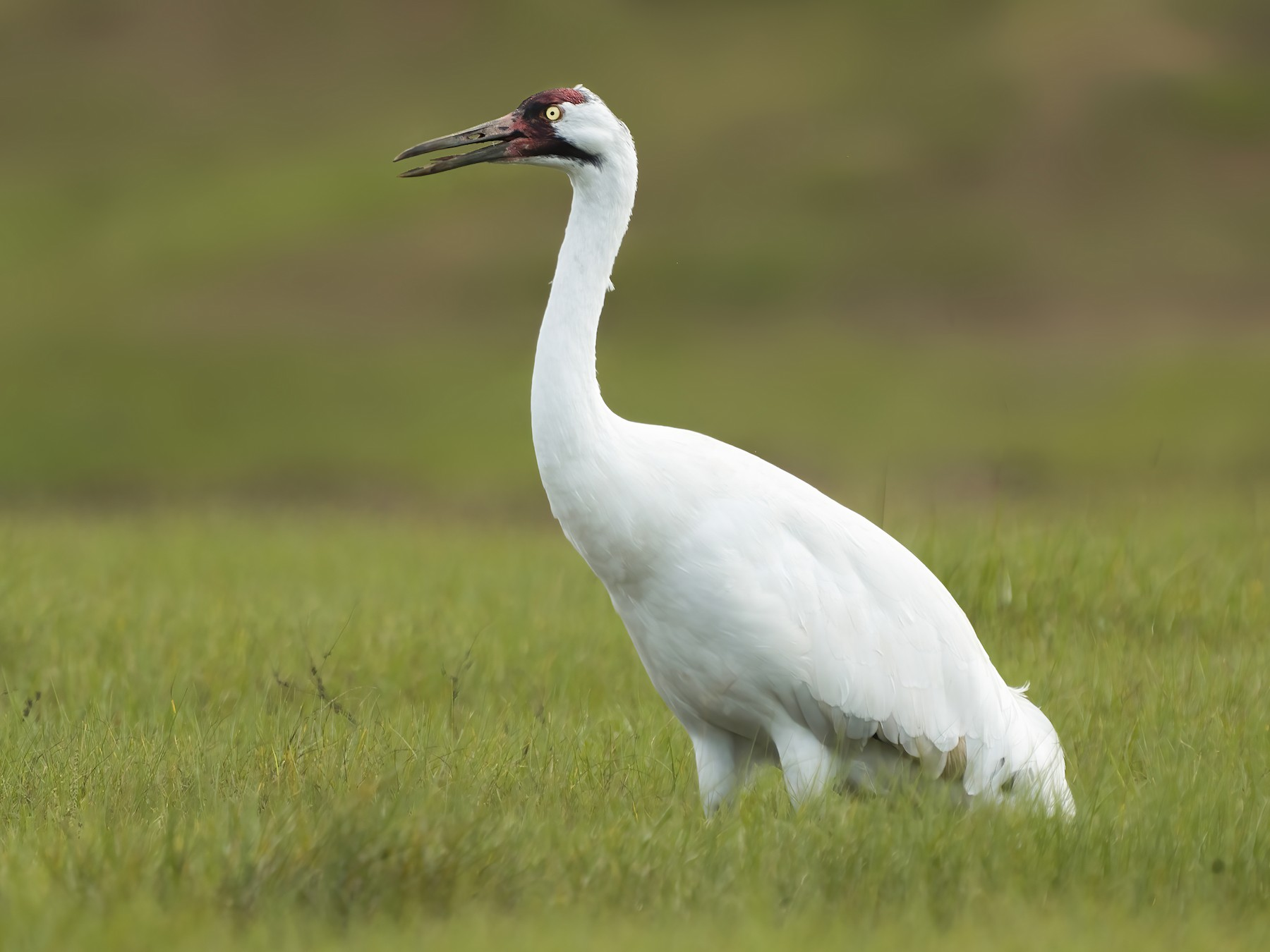 Whooping Crane - Derek Hameister