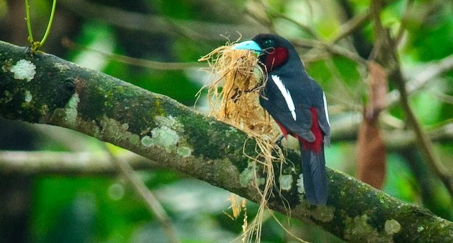Adult with nesting material.
