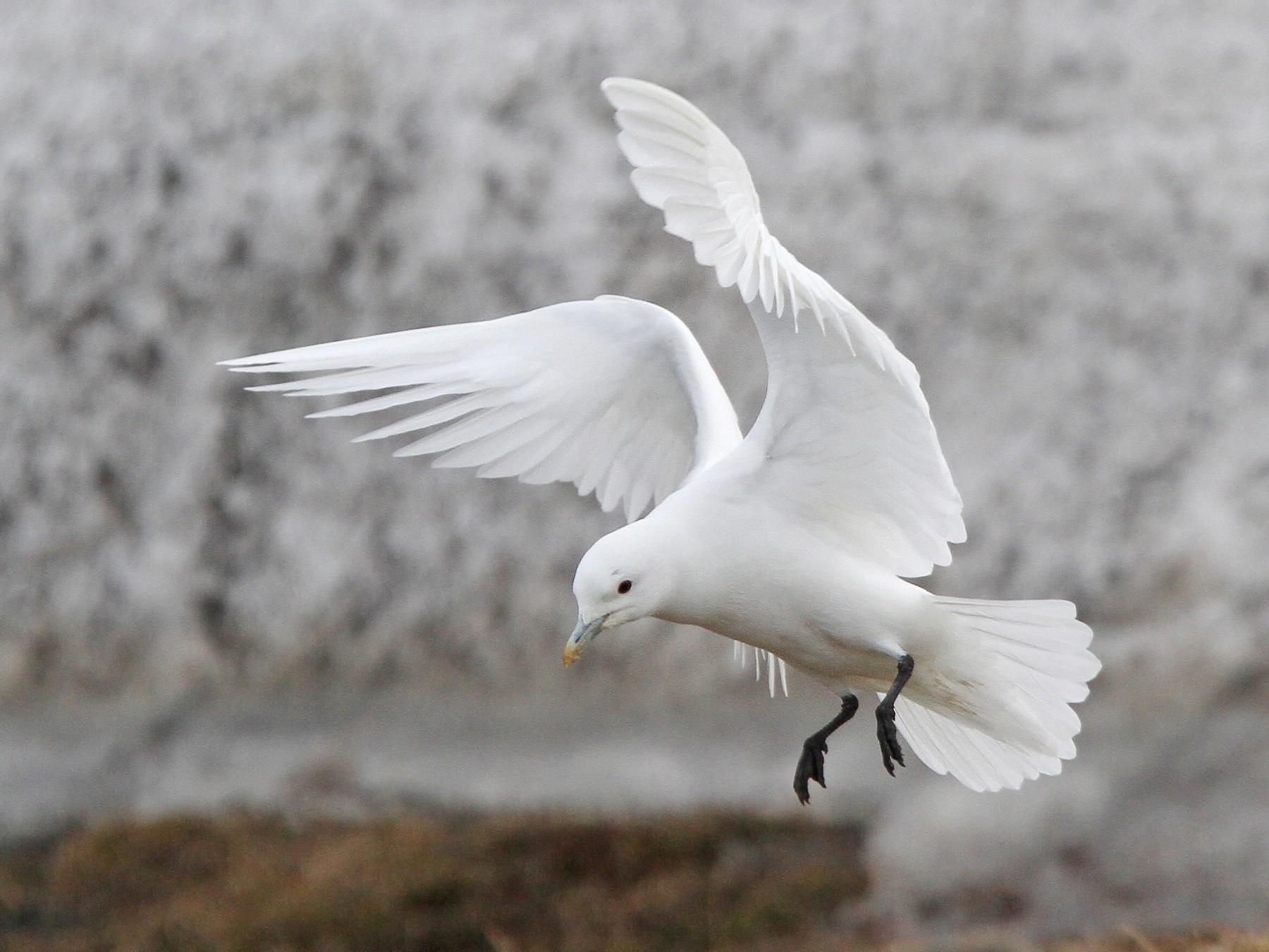 Ivory Gull - Christoph Moning