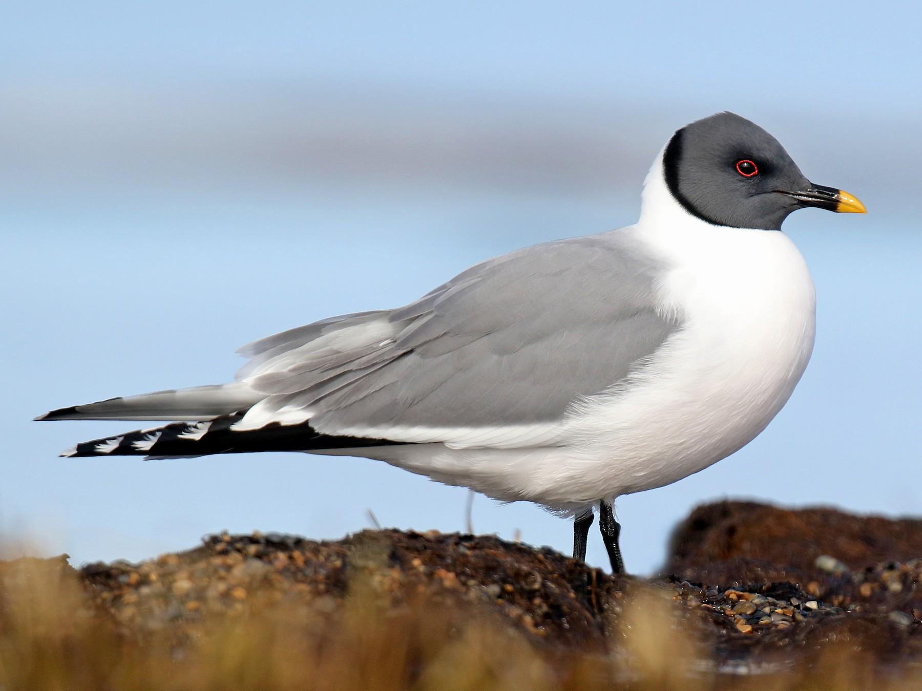 Sabine's Gull - daniel lopez velasco