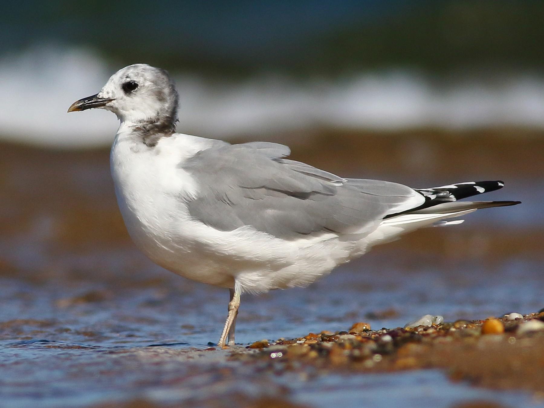 Sabine's Gull - Sean Williams
