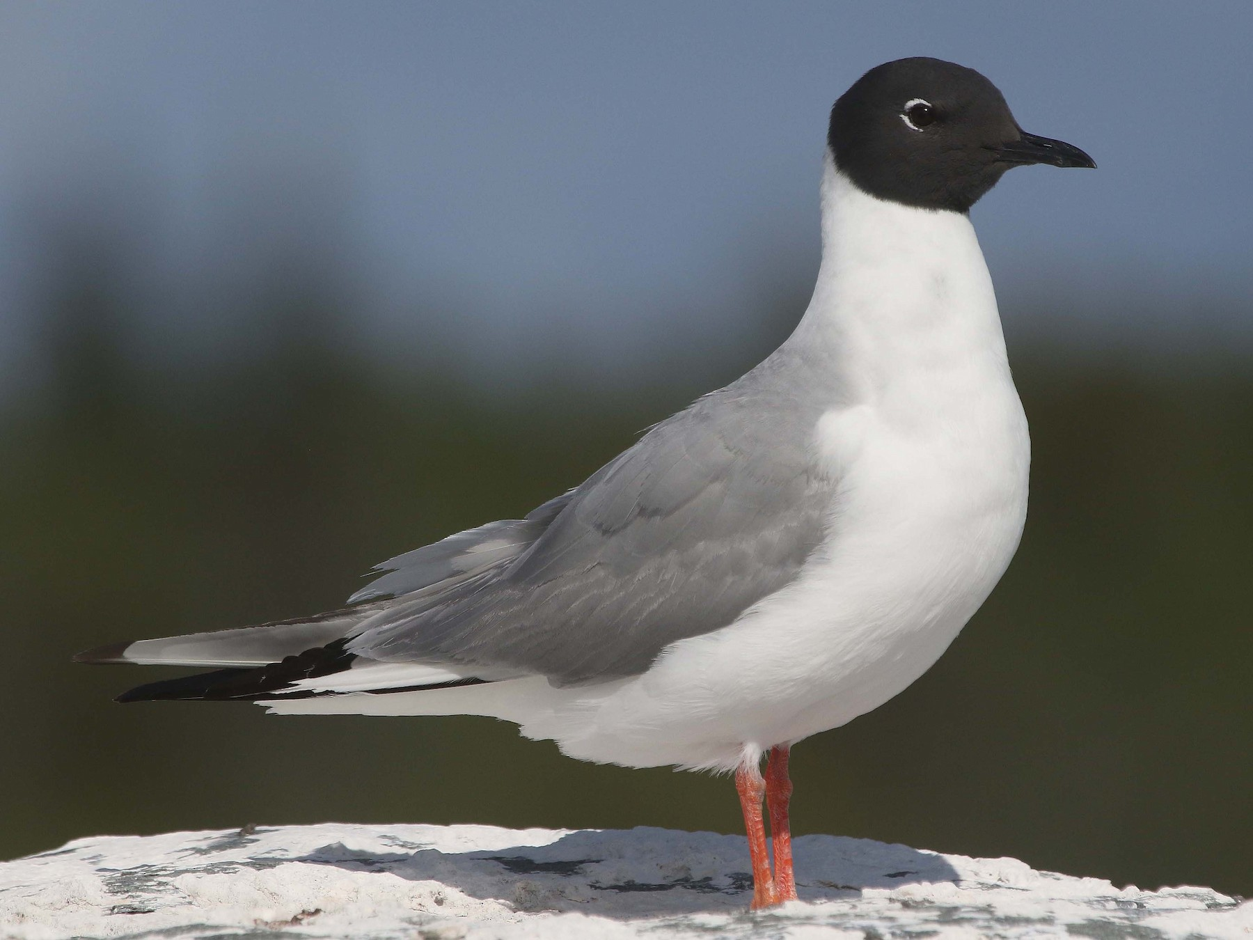 Bonaparte's Gull - Jim Sims