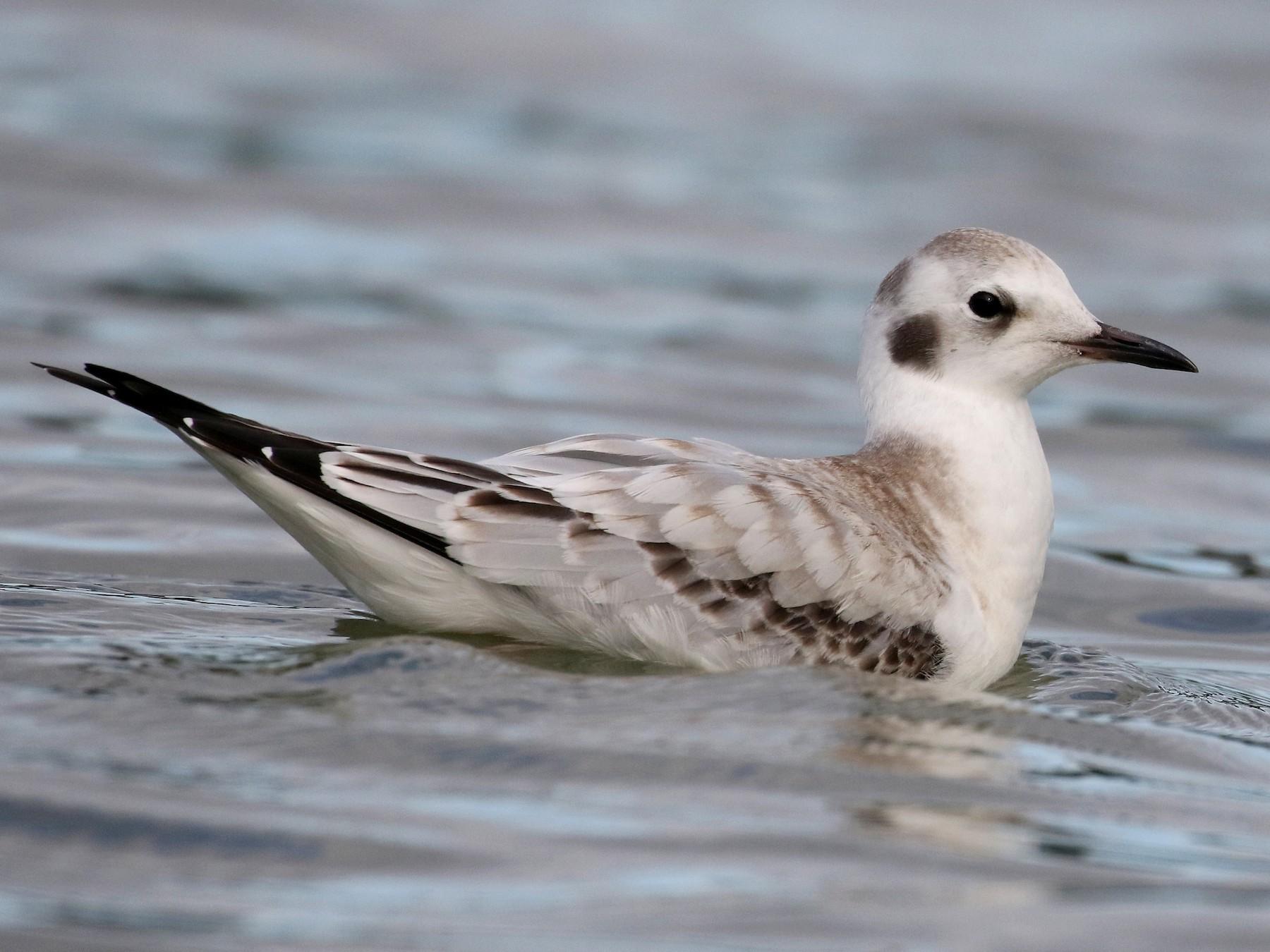 Bonaparte's Gull - Jay McGowan