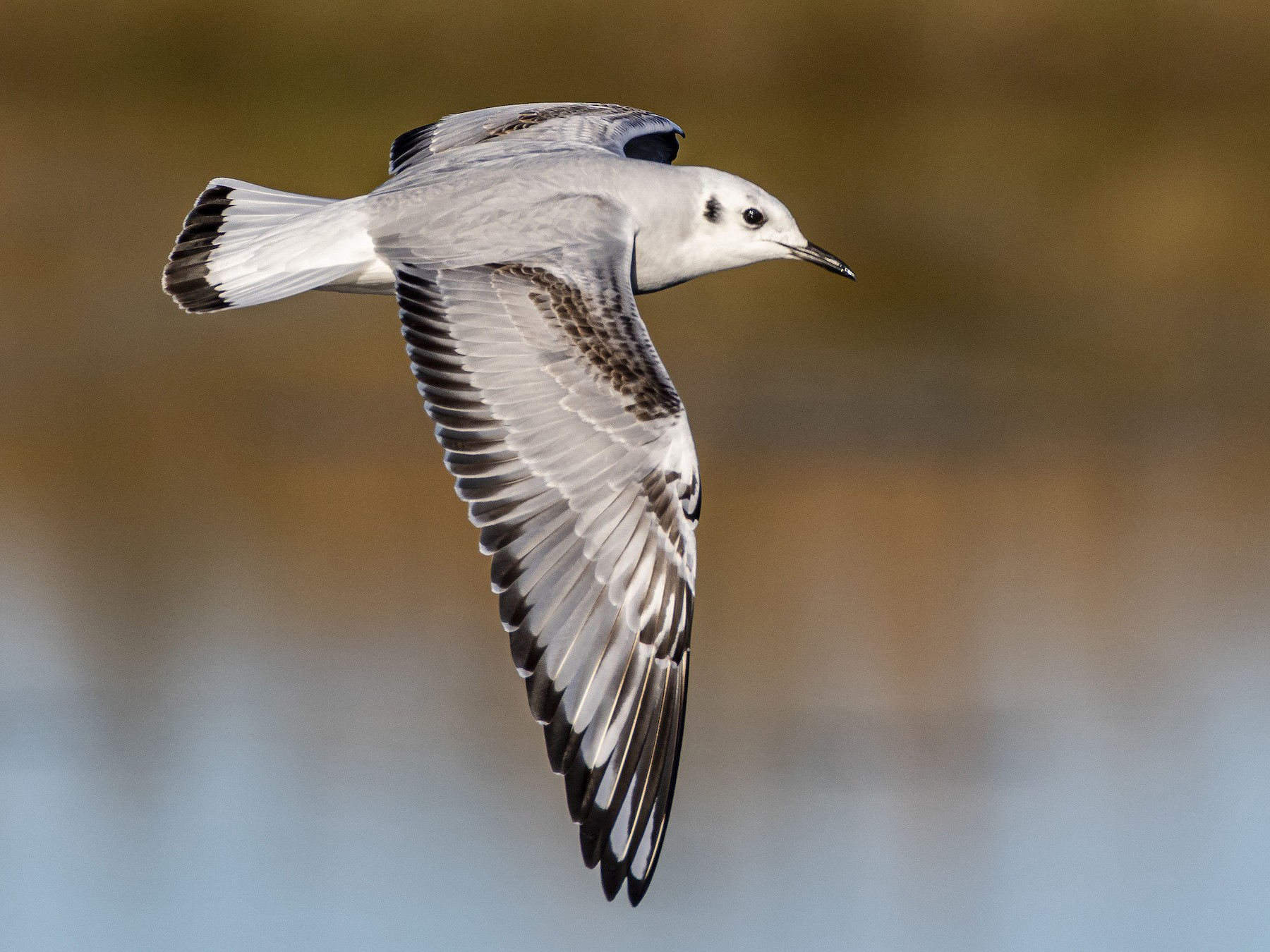 Bonaparte's Gull - Alan Wells