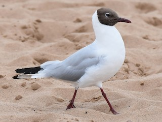 - Black-headed Gull