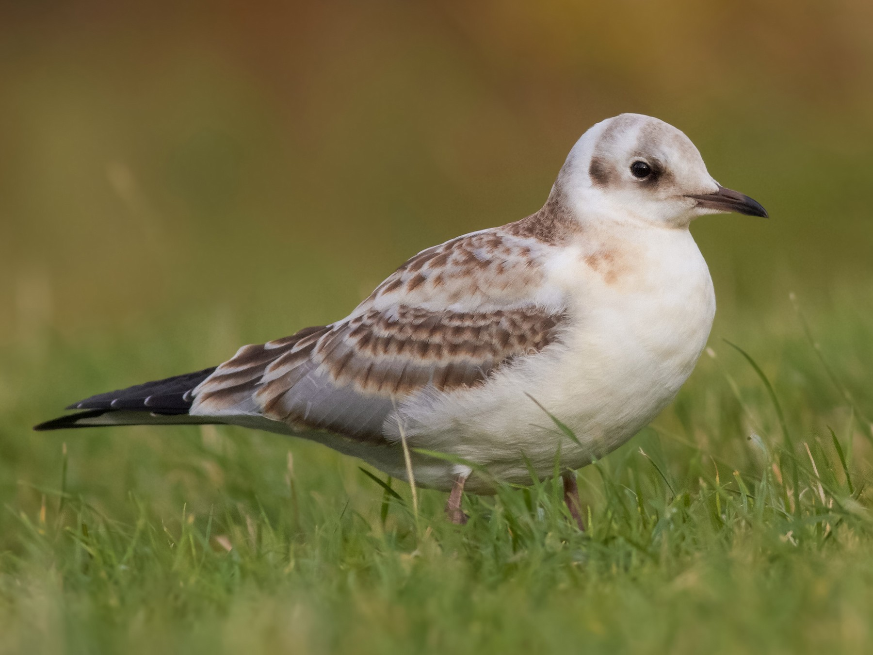 Black-headed Gull - Davey Walters