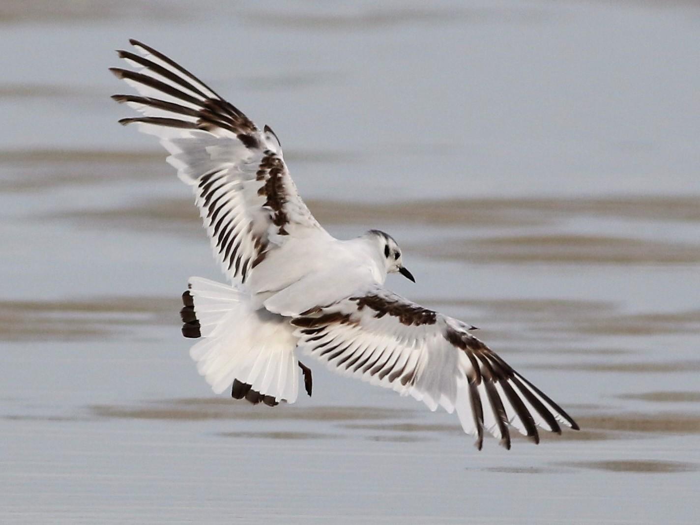 Little Gull - Peter Flood