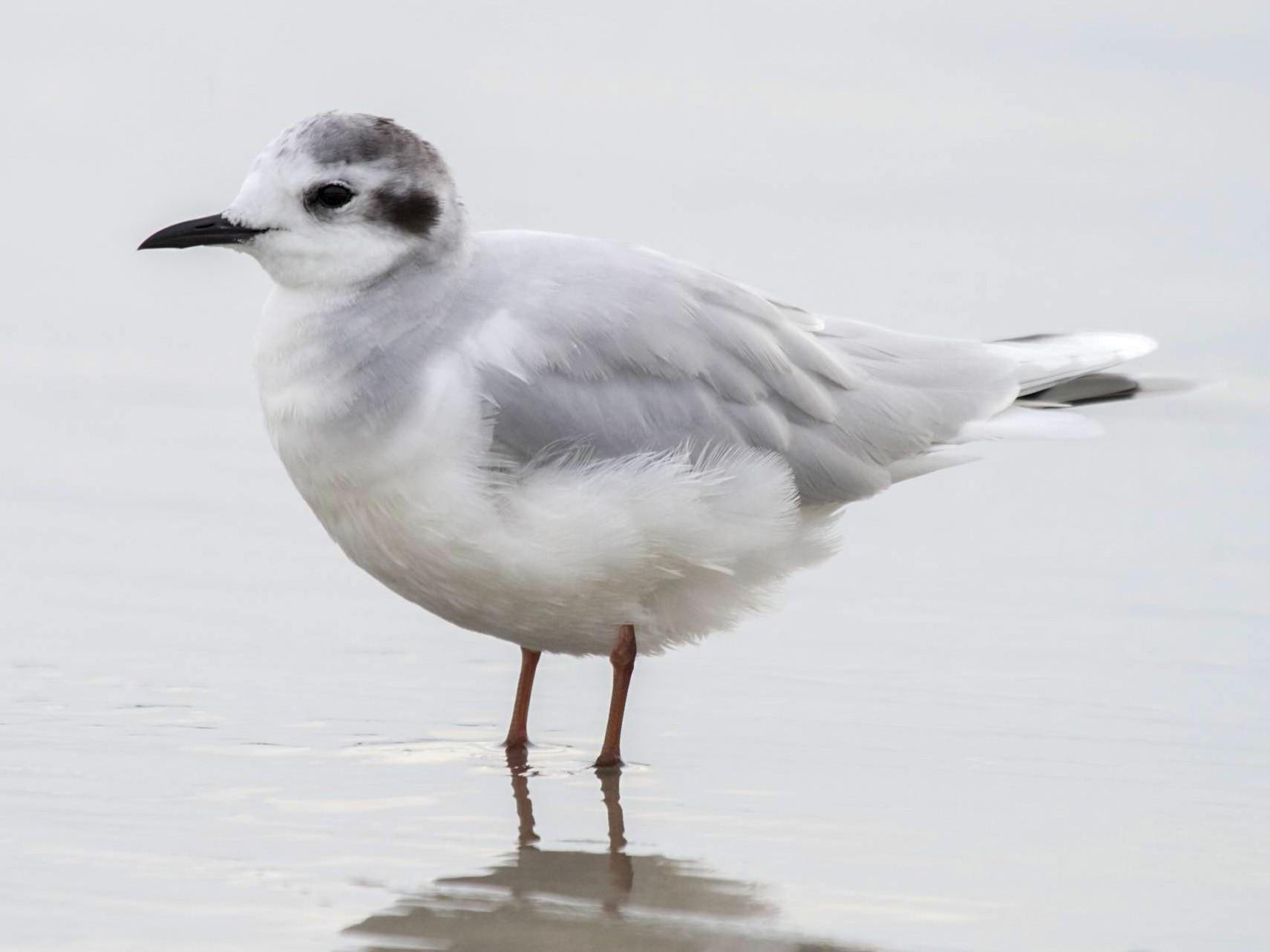 Little Gull - Doug Hitchcox