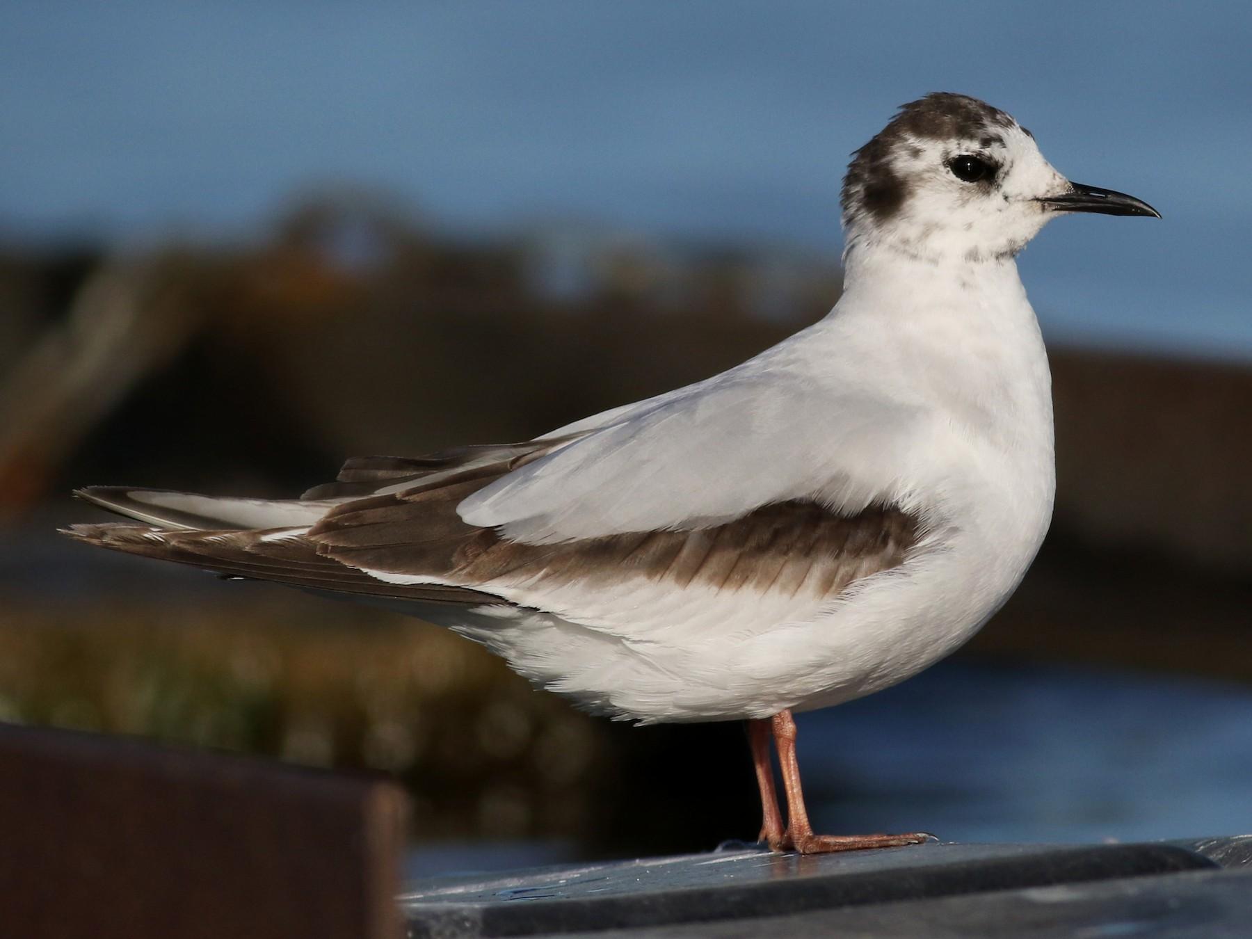 Little Gull - Jay McGowan