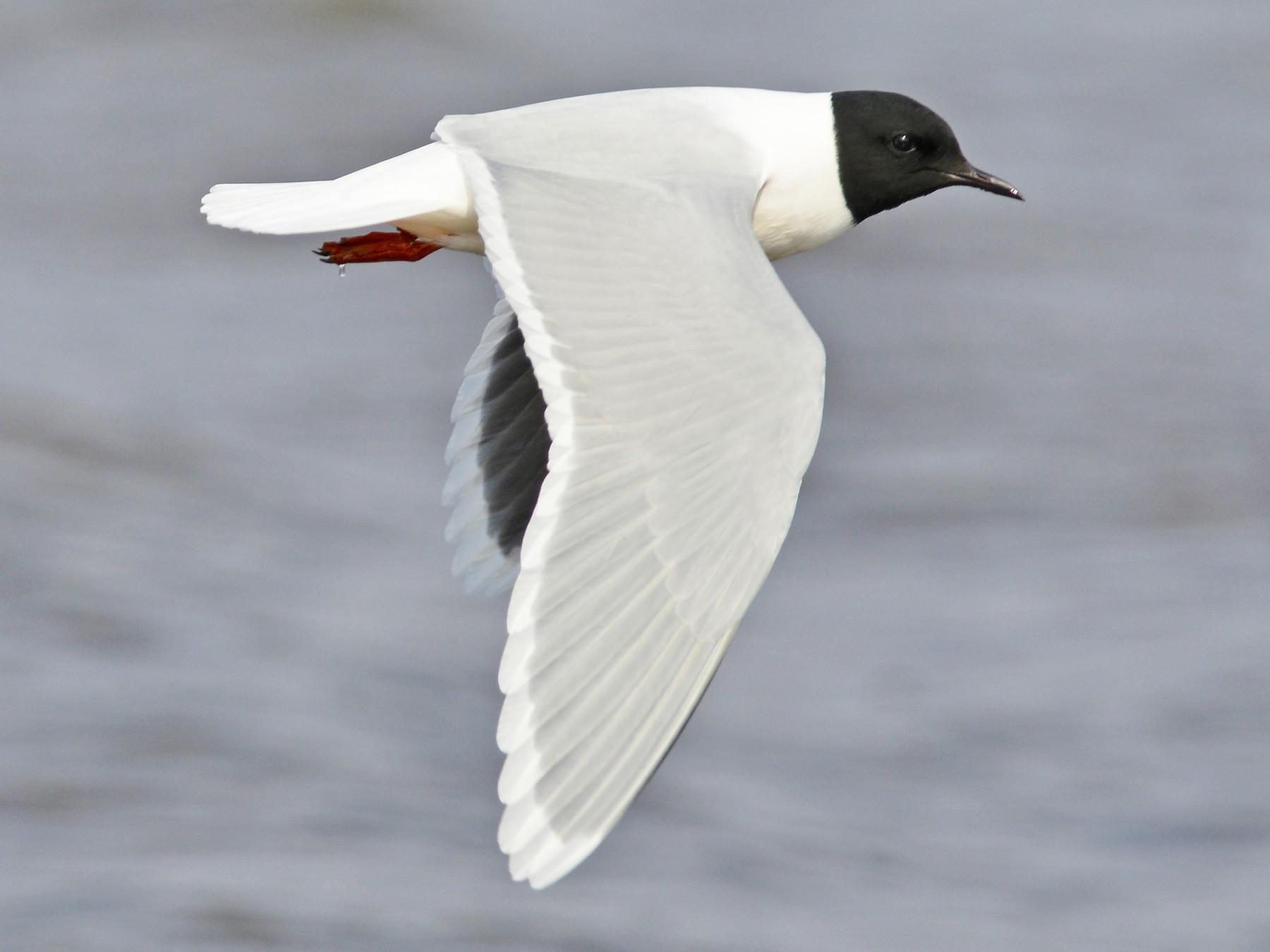 Little Gull - Tom Heijnen