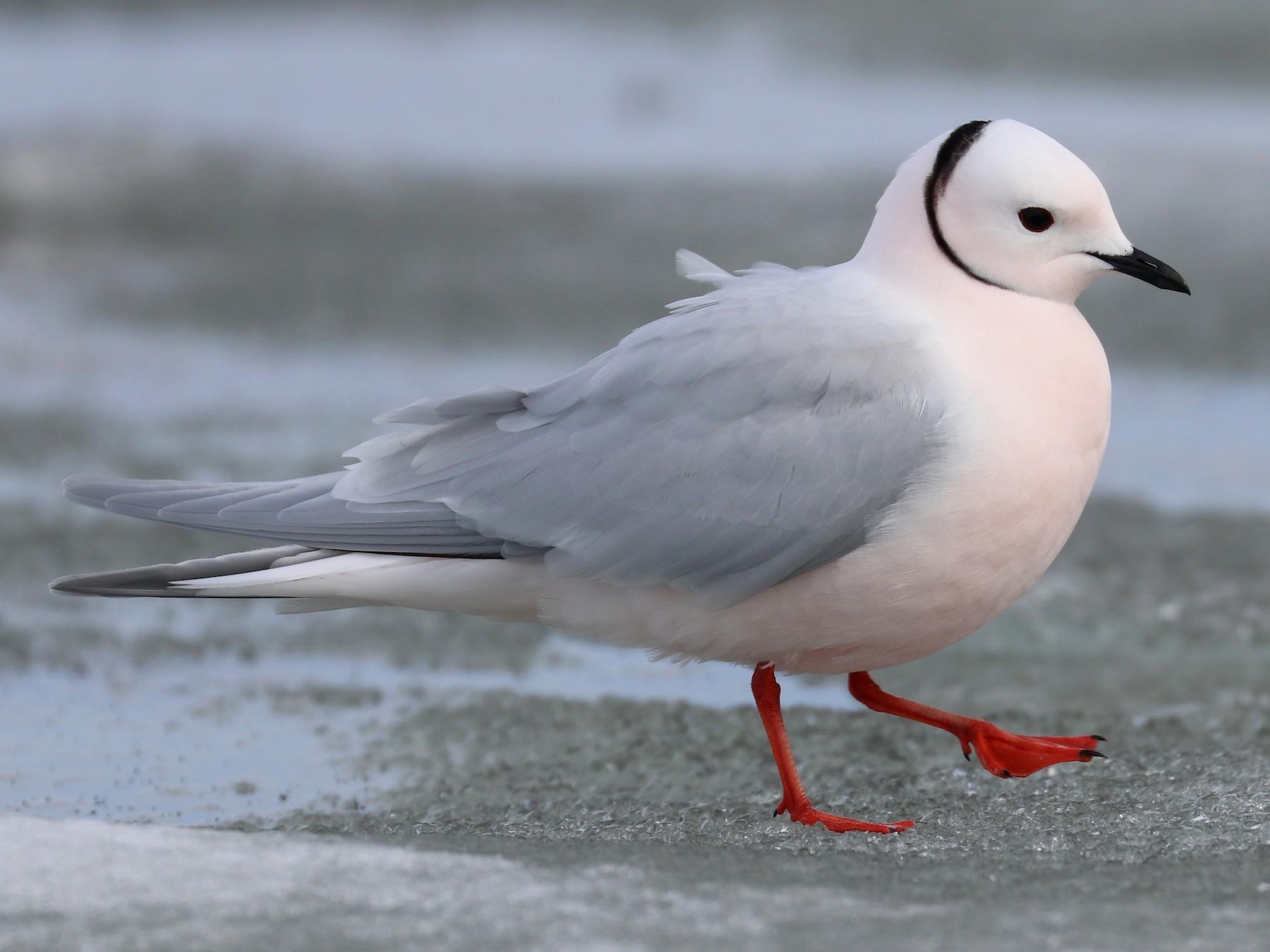 Ross's Gull - Shiloh Schulte