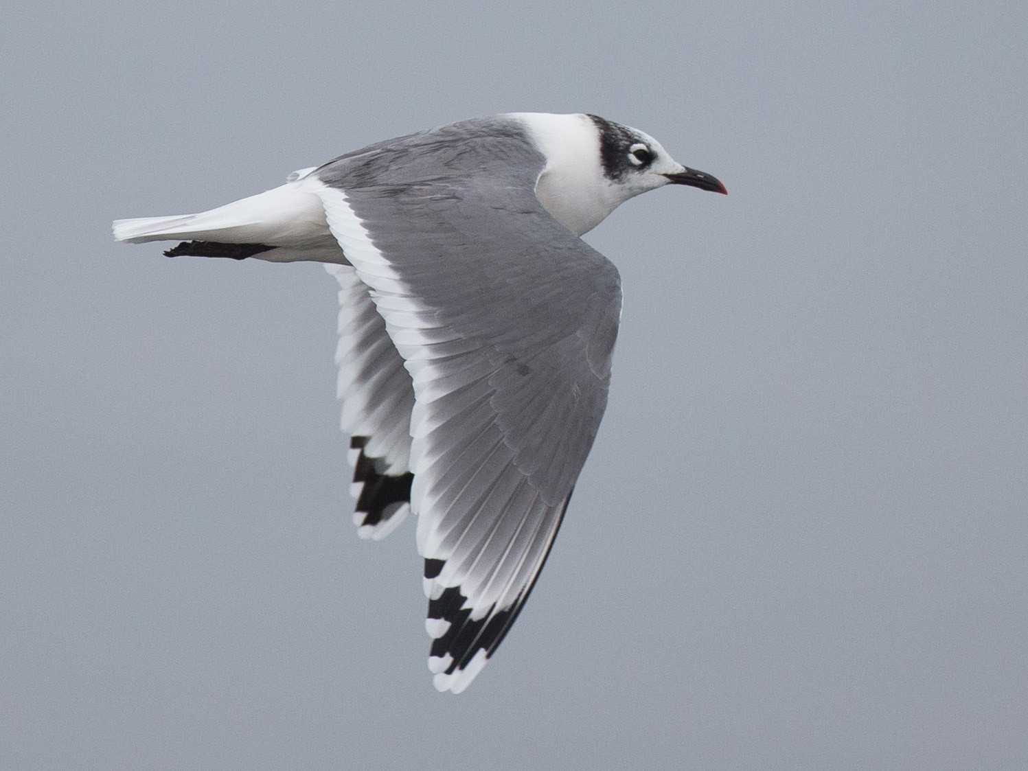Franklin's Gull - Chris Wood