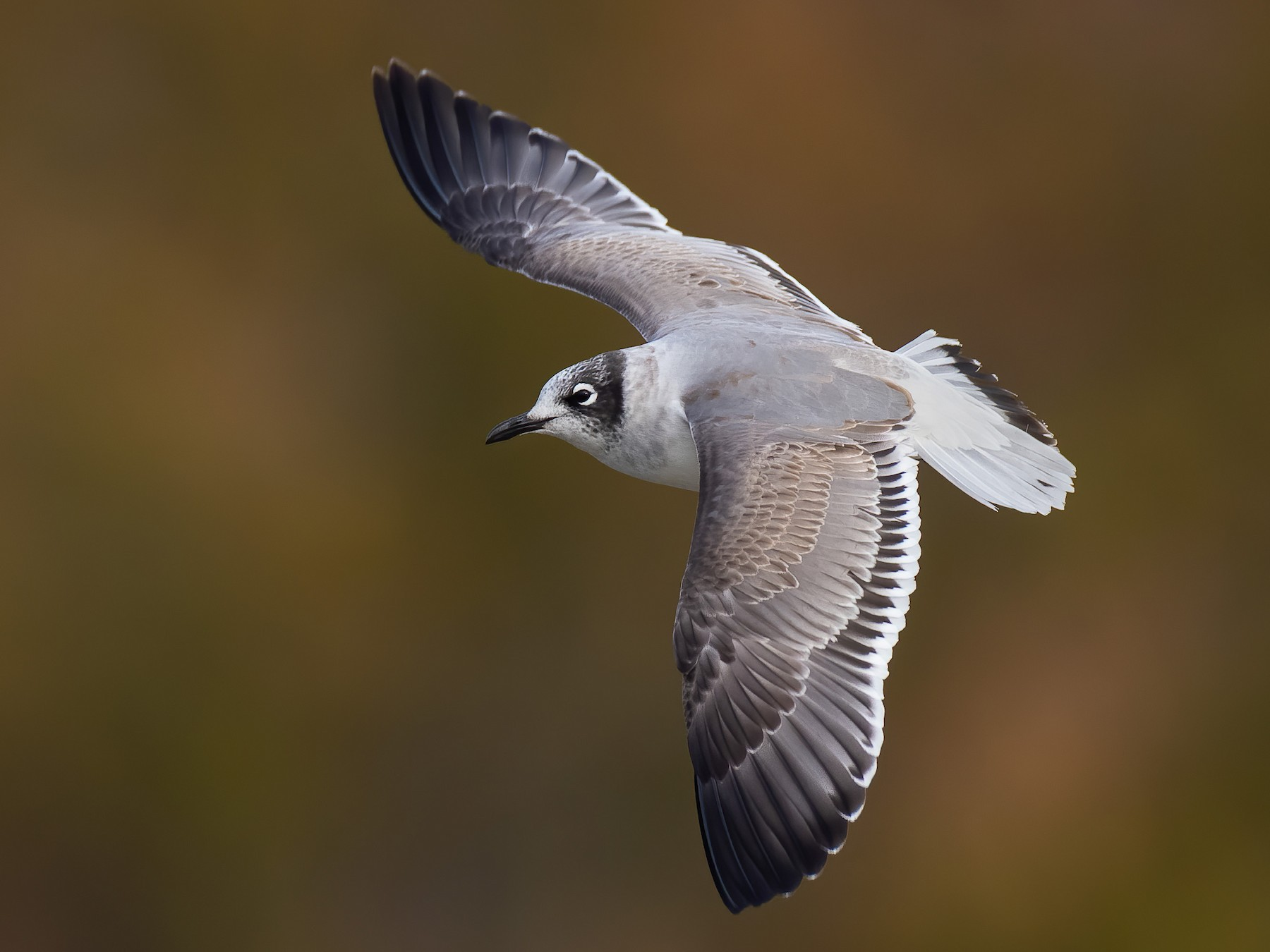 Franklin's Gull - Ryan Sanderson