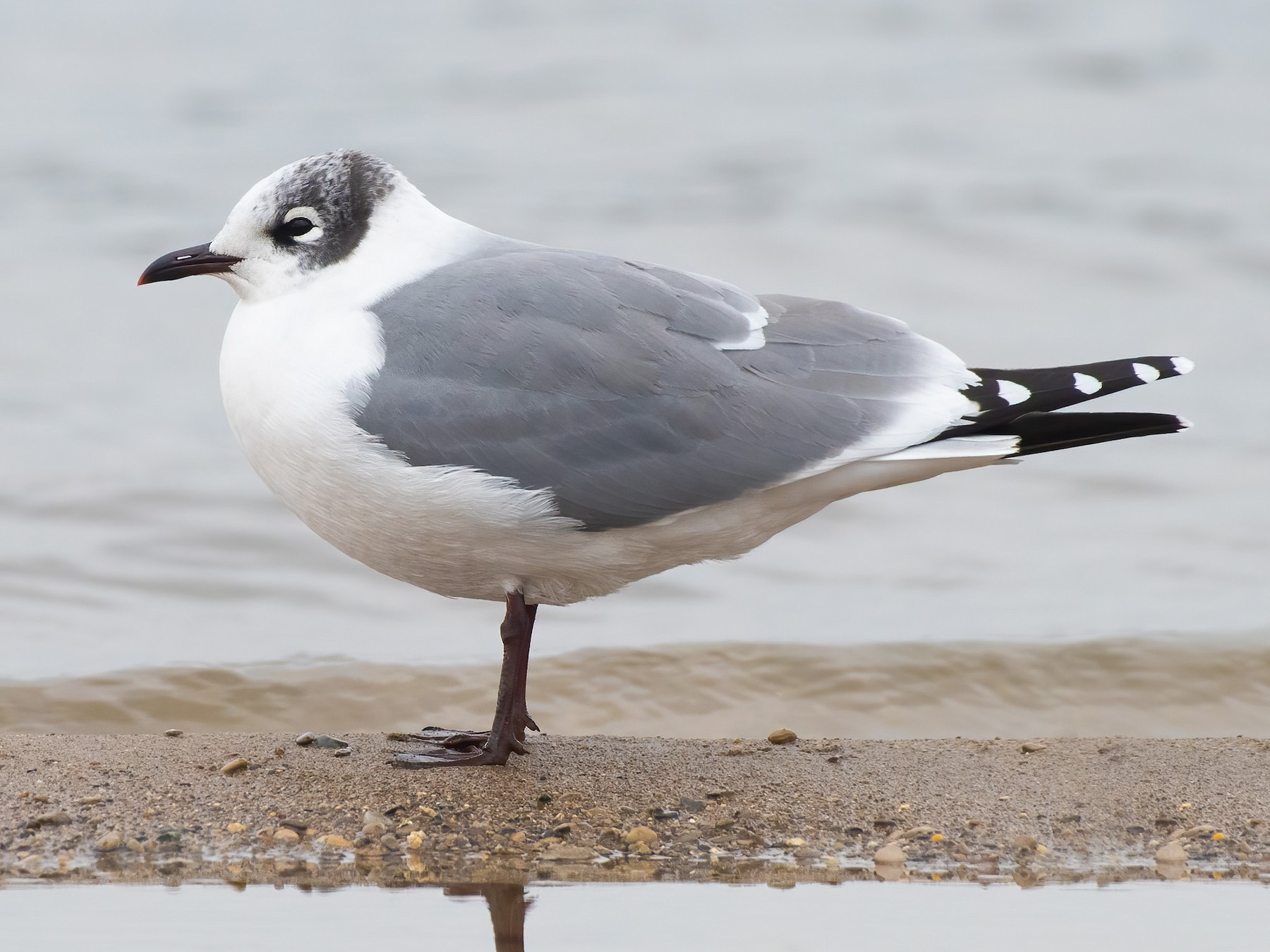 Franklin's Gull - Tyler Ficker