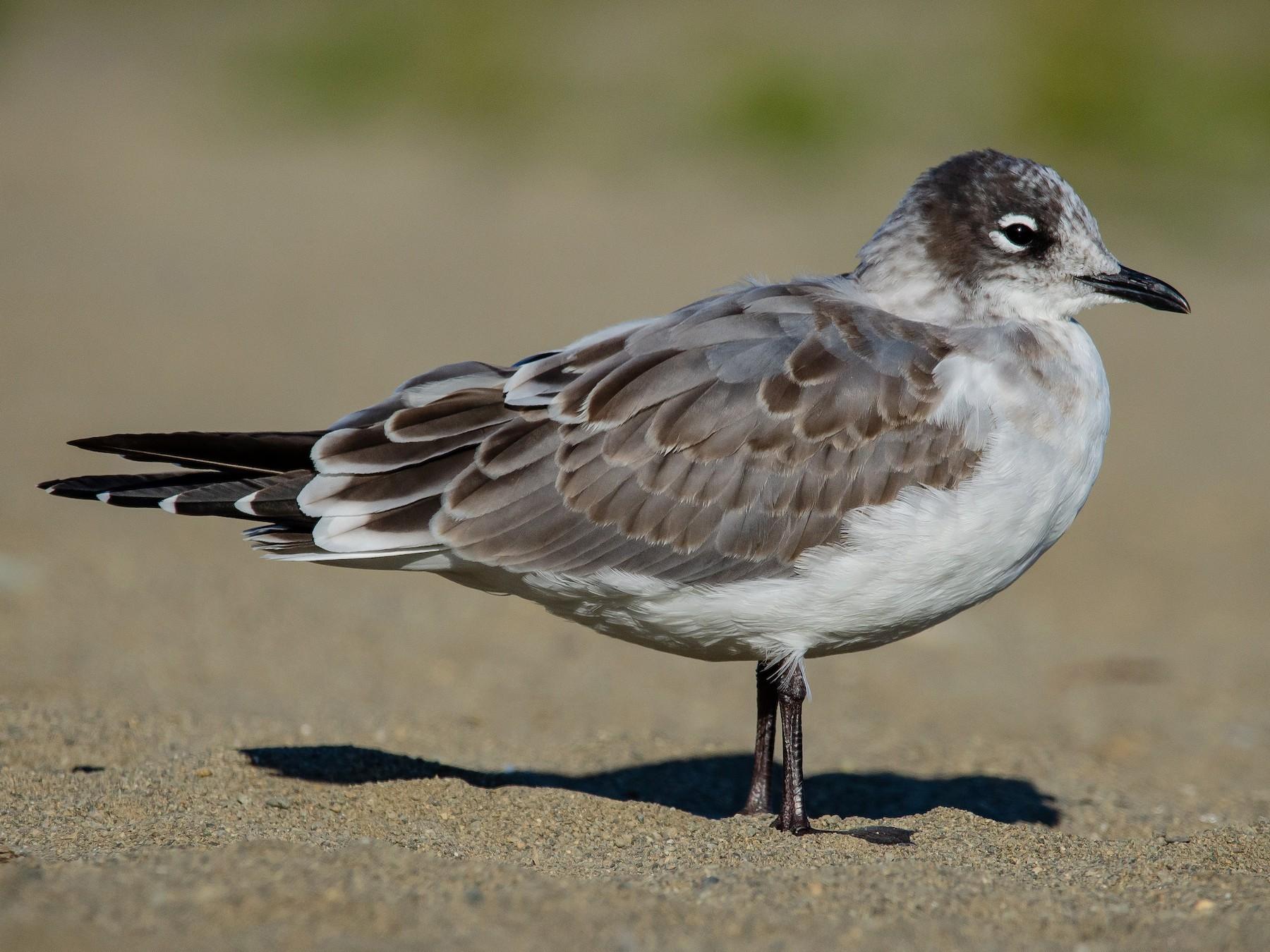 Franklin's Gull - Mason Maron