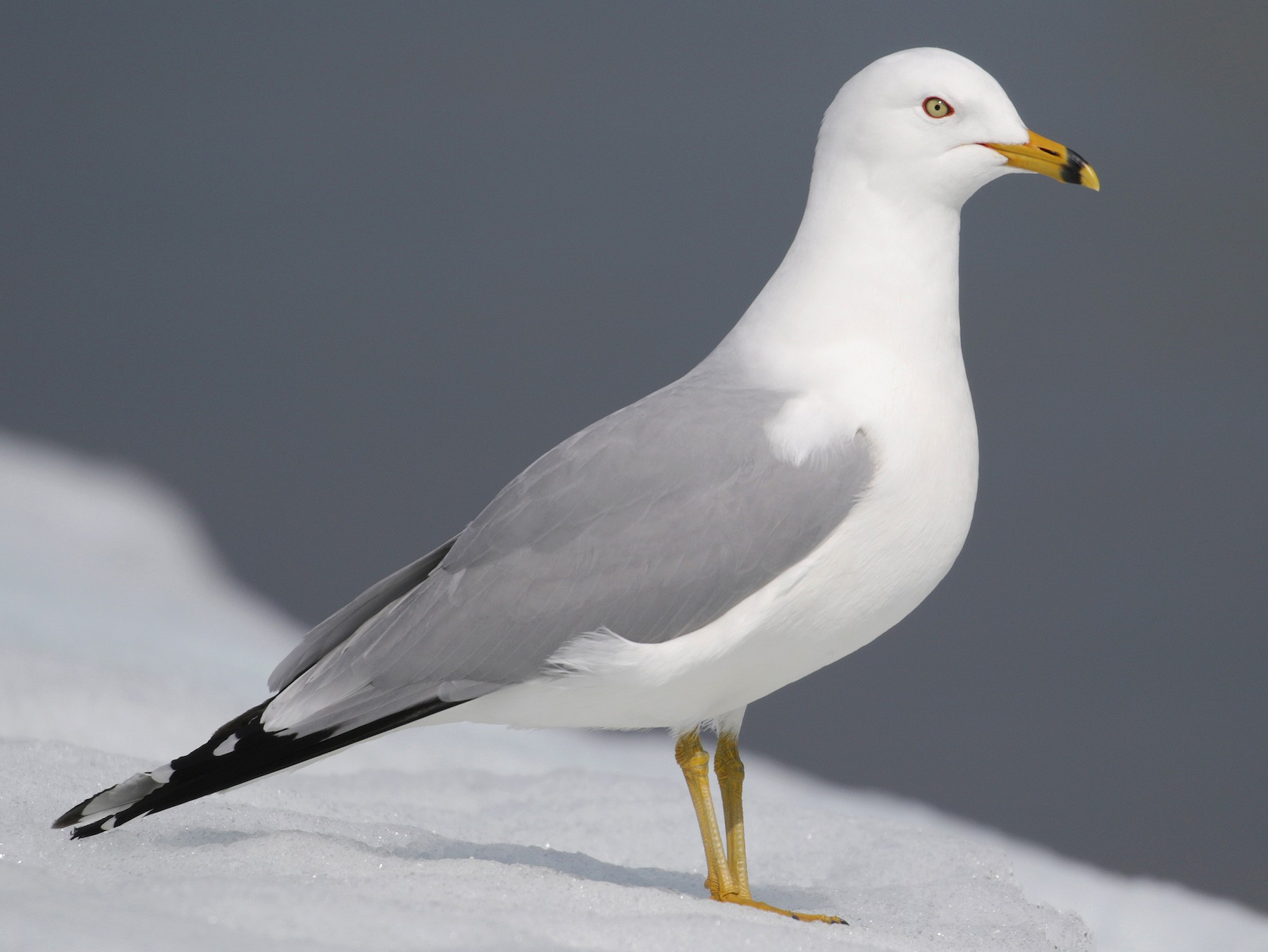 Ring-billed Gull - Cameron Eckert