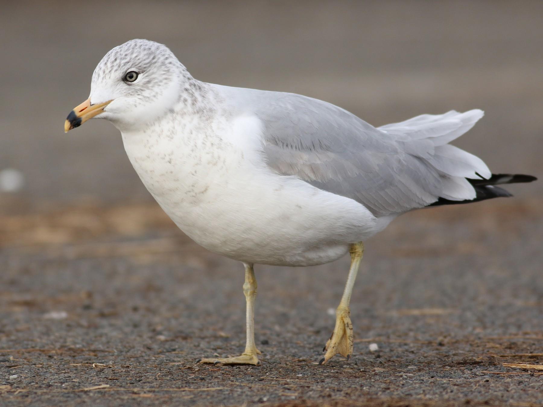 Ring-billed Gull - Jonathan Eckerson