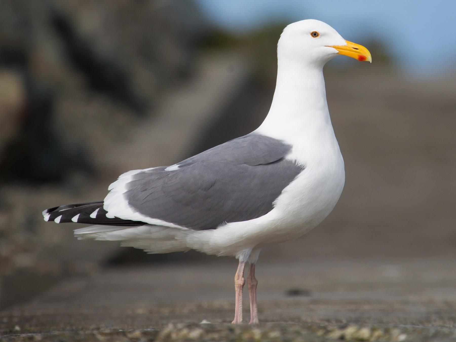 Western Gull - Jessica Hadley