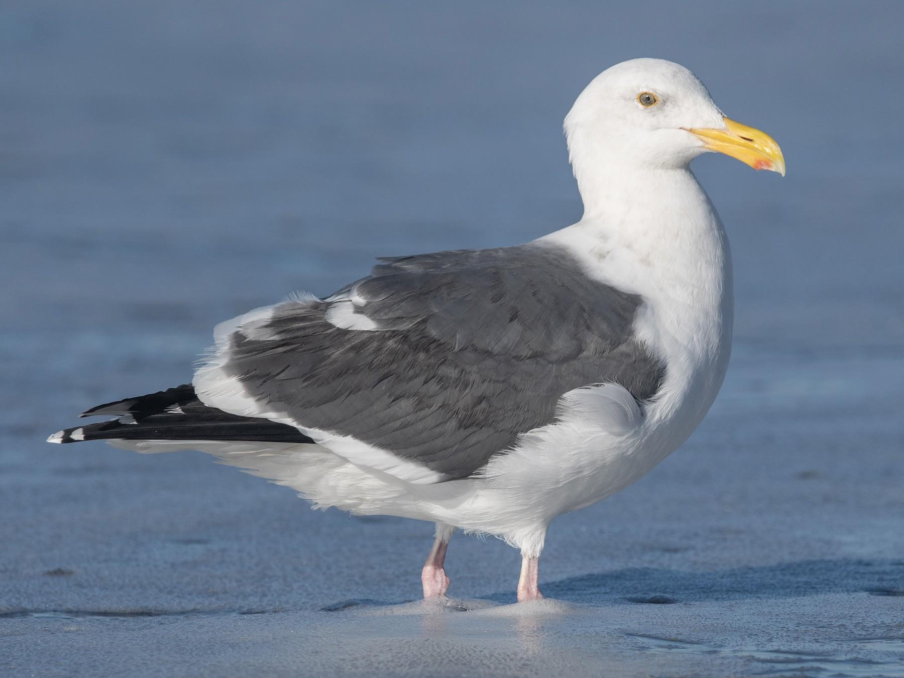 Western Gull - Mason Maron