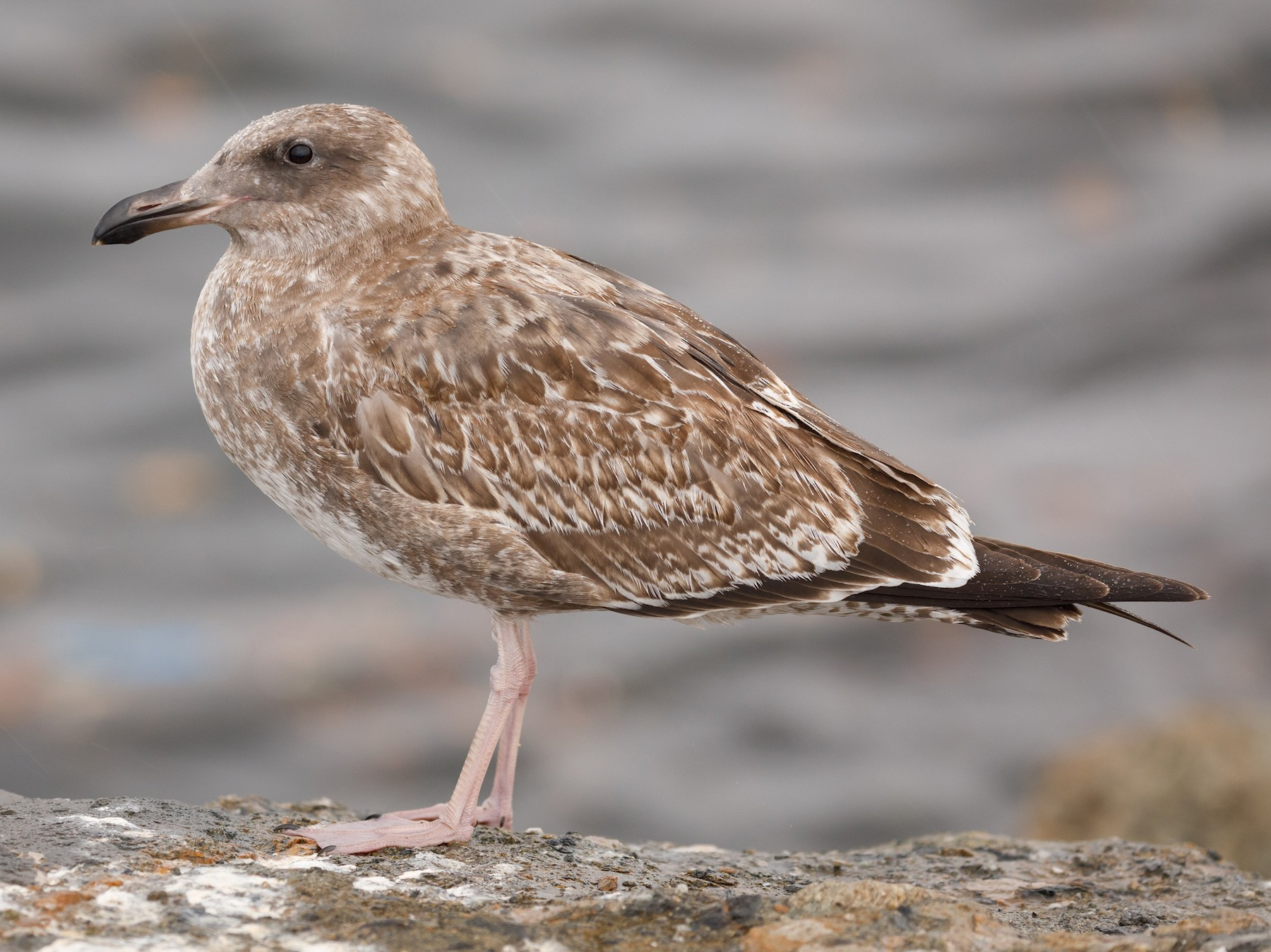 Western Gull - Darren Clark