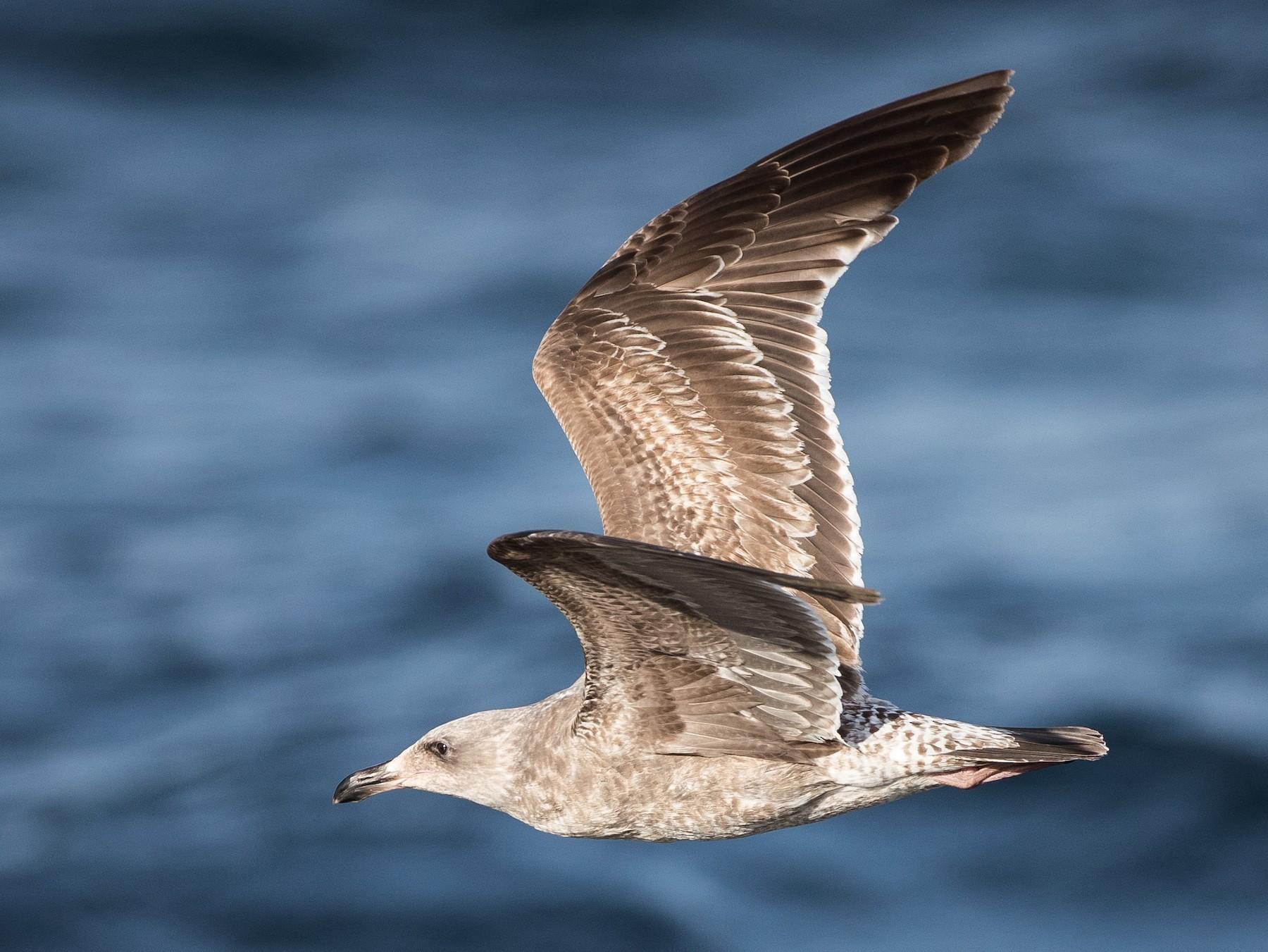 Western Gull - Blake Matheson