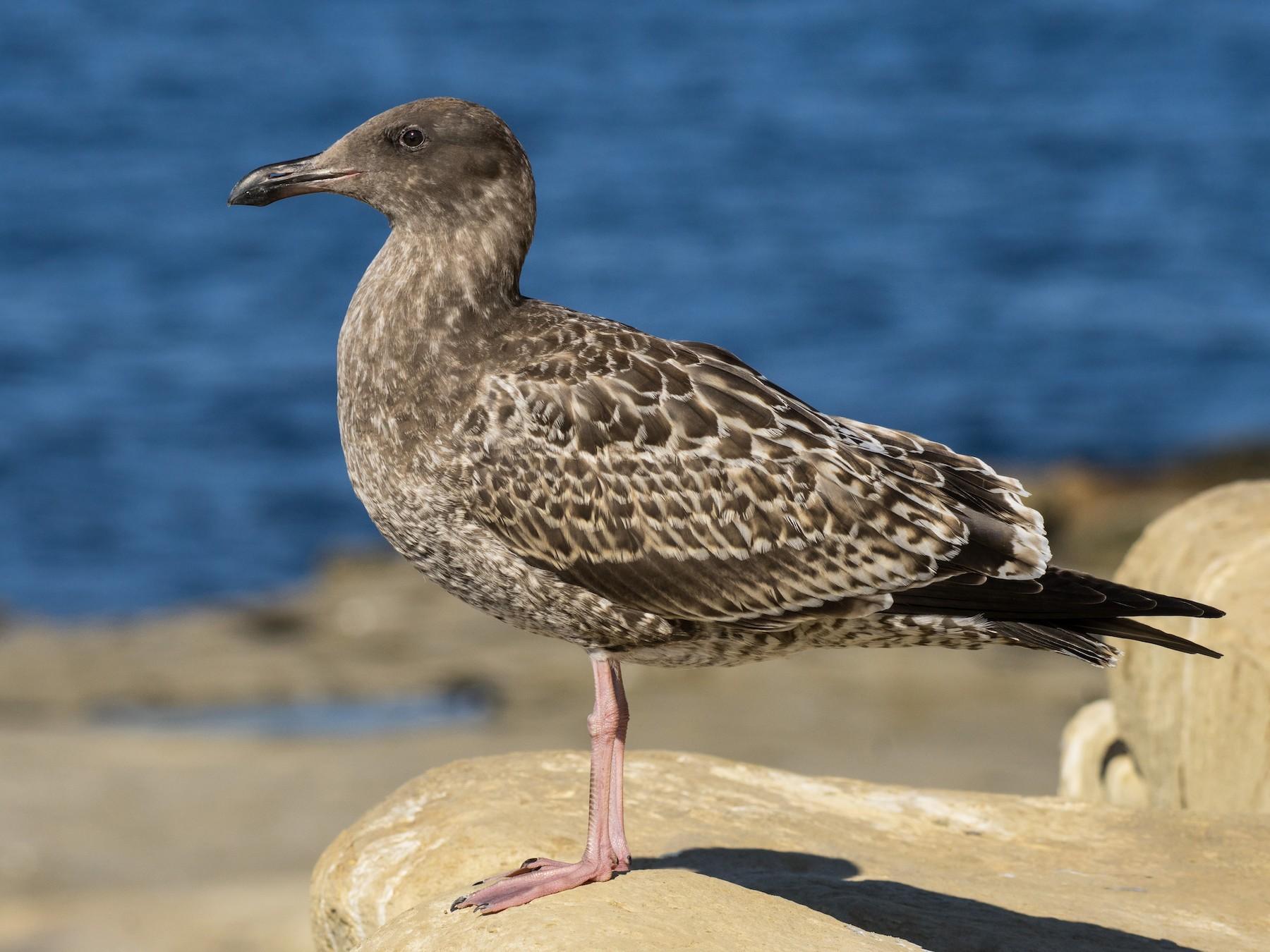 Western Gull - Alison Davies